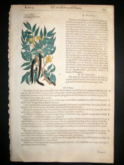 Gerards Herbal 1633 Hand Col Botanical Print. Cassia Fistula, Pudding Pipe Tree | Albion Prints